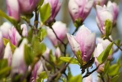 Rosafarbene Blüten auf einem Baum Lizenzfreie Stockbilder