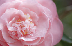 Rosafarbene Blume stockbild