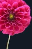 Rosafarbene Blume Lizenzfreie Stockfotos