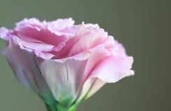Rosafarbene Blume Lizenzfreies Stockbild