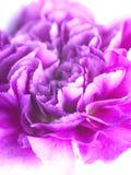 Rosafarbene Blume lizenzfreie stockbilder