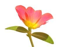 Rosafarbene Blume Lizenzfreies Stockfoto