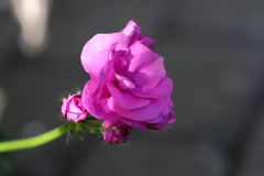 Rosafarbene Blume 2 Stockbilder