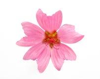 Rosafarbene Blume Lizenzfreie Stockfotografie