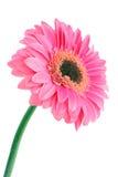 Rosafarbene Blume auf Weiß lizenzfreie stockbilder