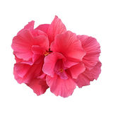 Rosafarbene Blume auf Weiß Lizenzfreies Stockfoto