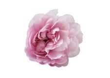 Rosafarbene Blume auf weißem Hintergrund Lizenzfreie Stockfotos