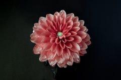 Rosafarbene Blume in der Blüte Stockfotos