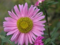 Rosafarbene Blume in der Blüte Stockfoto
