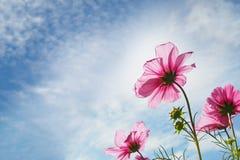 Rosafarbene Blume der Blüte Lizenzfreie Stockfotografie