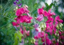 Rosafarbene Blume der Blüte Stockfotografie