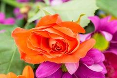 Rosafarbene Blume der einzelnen Orange mit purpurroten Chrysanthemen Lizenzfreies Stockbild