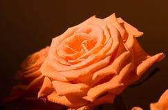 Rosafarbene Blume der Orange Lizenzfreie Stockfotos