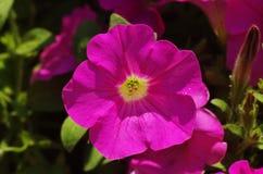 Rosafarbene Blume der Petunie Lizenzfreies Stockfoto