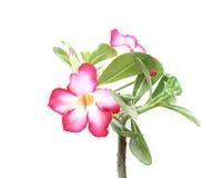 Rosafarbene Blume der Wüste Stockbilder
