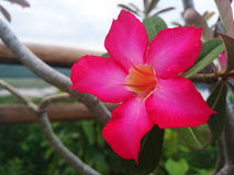Rosafarbene Blume der Wüste Lizenzfreie Stockbilder