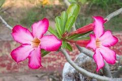 Rosafarbene Blume der Wüste stockfoto