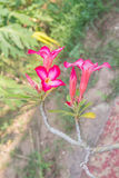 Rosafarbene Blume der Wüste stockfotografie