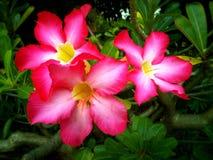Rosafarbene Blume der Wüste Lizenzfreie Stockfotos