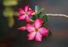Rosafarbene Blume der Wüste Lizenzfreies Stockbild