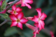 Rosafarbene Blume der Wüste Lizenzfreie Stockfotografie