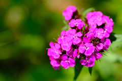 Rosafarbene Blume des Angebots Stockfotos