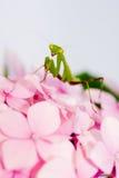 Rosafarbene Blume des betenden Mantis Lizenzfreie Stockfotografie