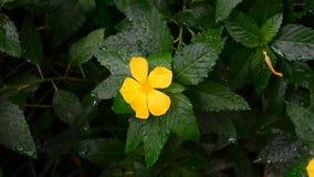 Rosafarbene Blume des gelben Salbeis stock video footage