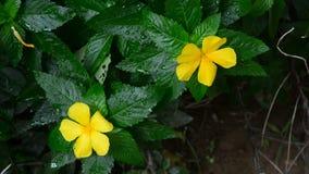Rosafarbene Blume des gelben Salbeis stock video