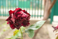 Rosafarbene Blume des Herbstes Stockfotografie