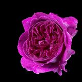 Nasse Purpurrosenblume Stockbild