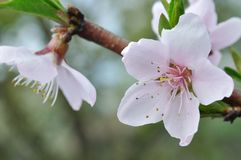 Rosafarbene Blume des Pfirsiches Stockbilder