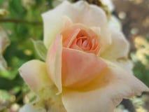 Rosafarbene Blume des Pfirsiches im Garten Stockfoto