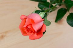 Rosafarbene Blume des Rosas Lizenzfreie Stockbilder