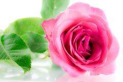 Rosafarbene Blume des Rosas Stockfotos