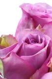 Rosafarbene Blume des Rosas Lizenzfreie Stockfotos