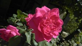Rosafarbene Blume des Rosas Stockbild