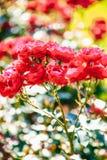 Rosafarbene Blume des roten Tees Lizenzfreies Stockbild