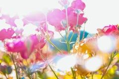 Rosafarbene Blume des roten Tees Lizenzfreies Stockfoto