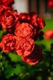 Rosafarbene Blume des roten Tees Stockfotografie
