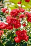 Rosafarbene Blume des roten Tees Stockbilder