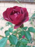 Rosafarbene Blume des Rotes Stockfotografie