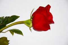 Rosafarbene Blume des Rotes lizenzfreie stockfotos