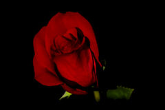Rosafarbene Blume des Rotes lizenzfreie stockfotografie