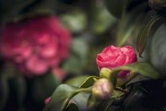 Rosafarbene Blume des Rotes Stockfoto