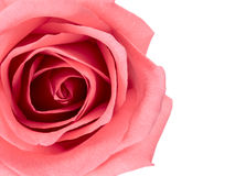 Rosafarbene Blume des schönen Rosas Stockbilder