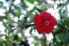 Rosafarbene Blume des Schuh-Blumen-Hibiscus oder des Chinesen stockfotografie