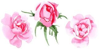 Rosafarbene Blume des Wildflowertees in einer Aquarellart lokalisiert Stockfotografie