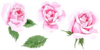 Rosafarbene Blume des Wildflowertees in einer Aquarellart lokalisiert Stockfotos