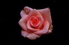 Rosafarbene Blume getrennt stockbild